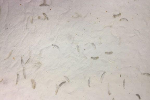 HMP00011 (Cotton Seed White)